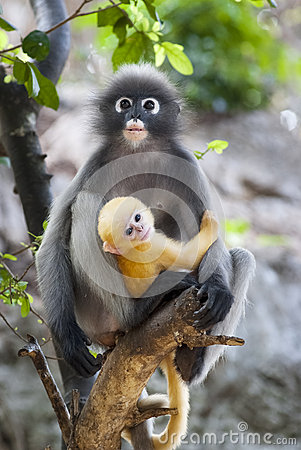 Free Dusky Leaf Monkey Baby Stock Image - 40548801