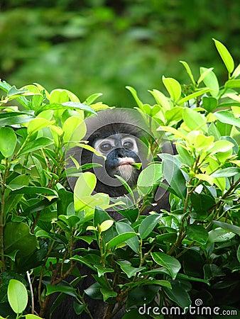 Free Dusky Leaf Monkey Langur Royalty Free Stock Image - 4338936