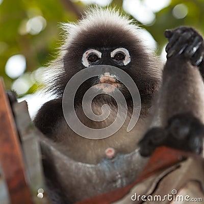 Dusky leaf monkey sitting in a roof gutter