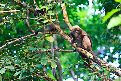 Dusky leaf monkeys sitting in a tree
