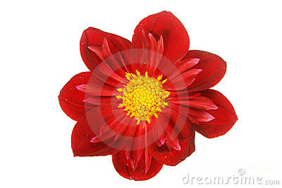 Dusky red dahlia flower