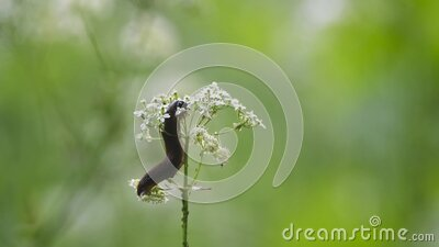 A Dusky Slug Arion fuscus eating wildflowers after climbing the stem stock footage
