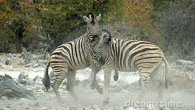 Dusty zebra fight