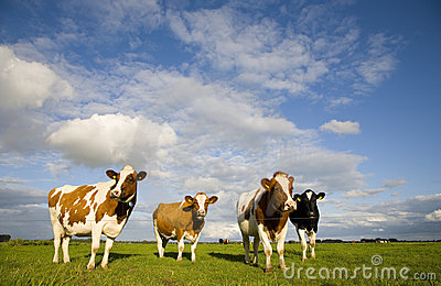Dutch cows 1