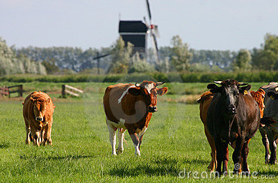Dutch cows 2