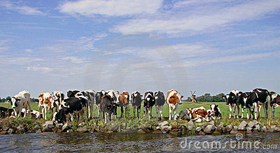 Dutch cows in afternoon sun