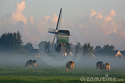 Dutch cows in morning fog
