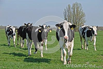 Dutch cows in morning sun