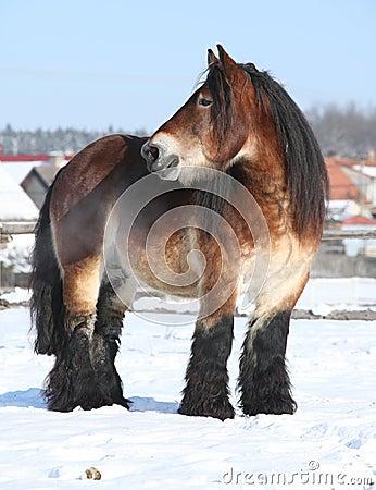 Free Dutch Draught Horse Stallion In Winter Stock Photos - 35682253