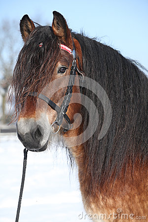 Free Dutch Draught Horse With Bridle In Winter Royalty Free Stock Photos - 35731648