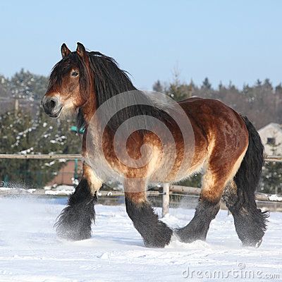Free Dutch Draught Horse With Long Mane Running In Snow Royalty Free Stock Photos - 35682548