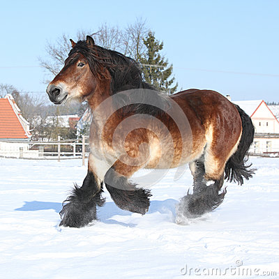 Free Dutch Draught Horse With Long Mane Running In Snow Stock Photos - 35731053