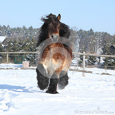 Free Dutch Draught Horse With Long Mane Running In Snow Royalty Free Stock Photos - 35731678