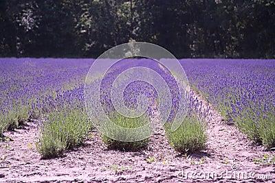 Dutch landscape lavender
