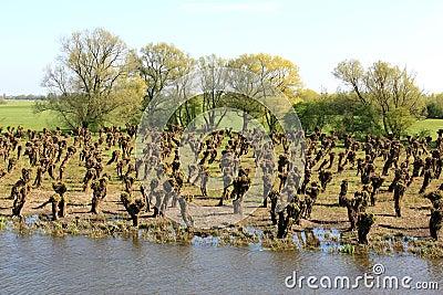 Dutch landscape with pollard willows