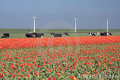 Dutch landscape: windmills, cows and tulips