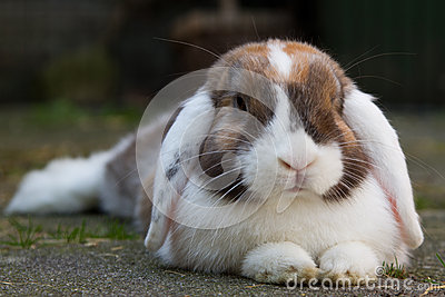 Dutch mini-lop rabbit in the garden