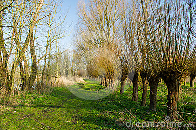 Dutch pollard willows