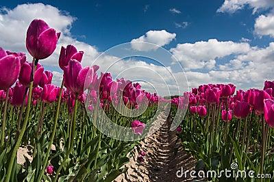Dutch purple tulip field