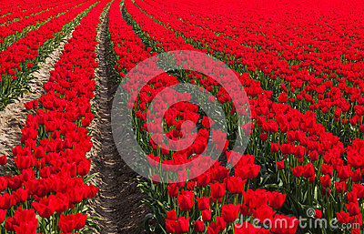 Dutch red tulip field