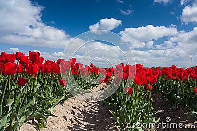 Dutch red tulip field