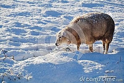 Dutch sheep on snow