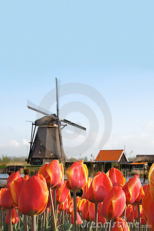 Dutch Tulip Bulbs Field and Windmill Landscape
