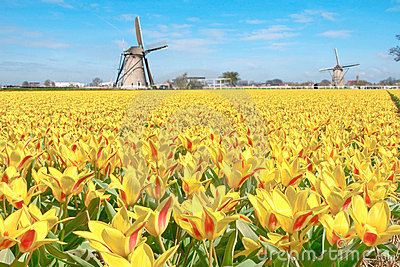 Dutch Tulip Windmill Landscape