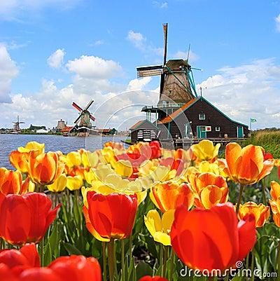 Free Dutch Tulips And Windmills Stock Image - 26366891