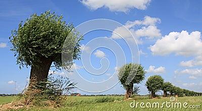 Dutch willows