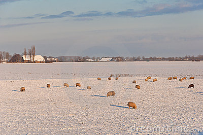 Dutch winter landscape with snow and sheep