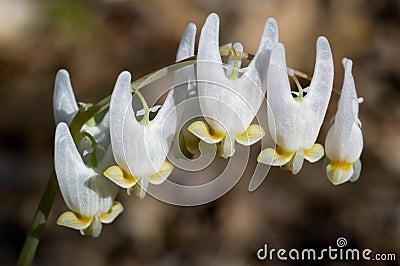 Dutchman s Breeches - Dicentra cucullaria
