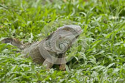 Duży iguana