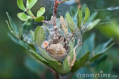 Duży pająk