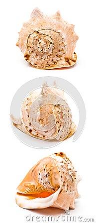 Duży seashell