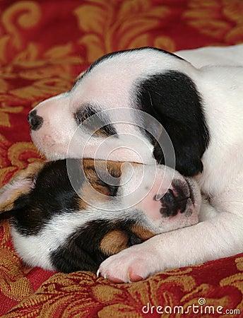 Dwa szczeniaki śpią