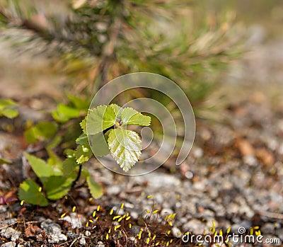 Dwarf Birch