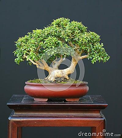 Free Dwarf Boxwood Bonsai Stock Image - 1684911