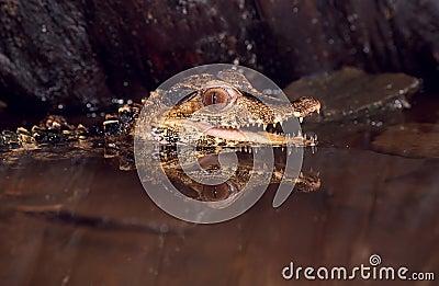Dwarf caiman(paleosuchus palpebrosus)