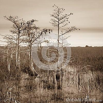 Dwarf Cypress Trees