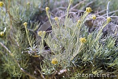 Dwarf everlast or Immortelle (Helichrysum arenarium)
