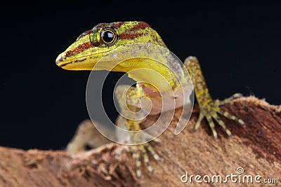 Dwarf forest daygecko