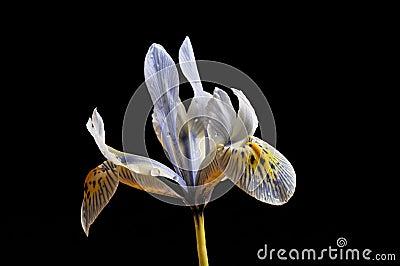 Dwarf iris flower, 'Katherine Hodgkin'