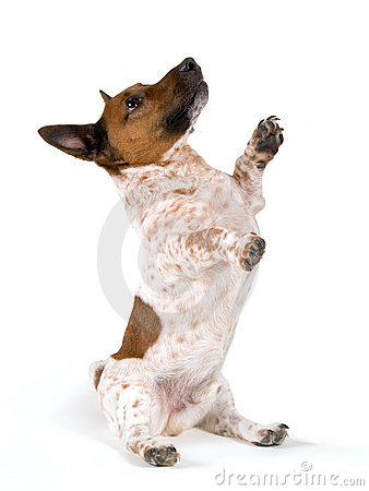 Dwarf Jack Russell Terrier on Animals Rear End
