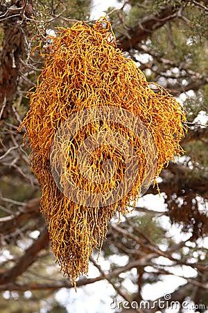 Free Dwarf Mistletoe Stock Photography - 8315892