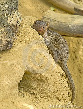 Dwarf Mongoose Royalty Free Stock Image - Image: 14105156