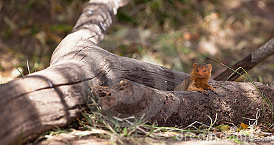 The Dwarf Mongoose