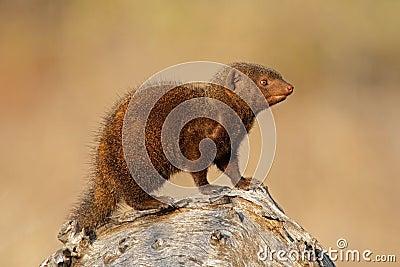 Dwarf mongoose, Kruger N/P