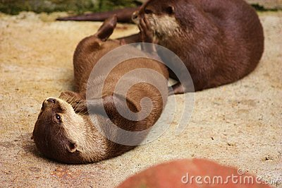Dwarf Otter