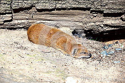 Dwarfish mongoose